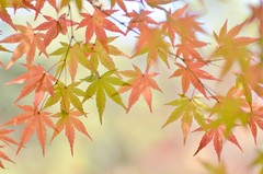 momiji (snowshoe hare*(catching up)) Tags: dsc1303 fall autumn fallfoliage autumnfoliage momiji maple japanesemaple ninnaji temple