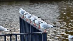 Mine (jamesmerrington) Tags: chester sea gulls seagulls river dee mine nemo line birds wildlife