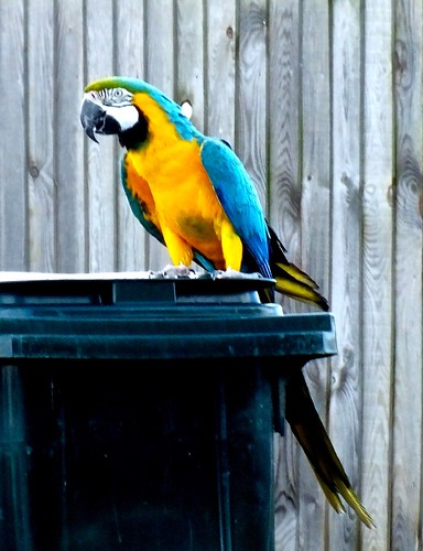 `Blue and Gold Macaw