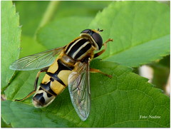 The Footballer (Nadine V.) Tags: helophiluspendulus gewonependelvlieg sunfly vlieg fly zweefvlieg hoverfly eristalispertinax flowerfly syrphidfly insect inourgarden fz38 panasonic panasonicdmcfz38 lumix