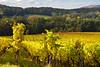 Quand les feuilles changent de couleur (Excalibur67) Tags: nikon d750 sigma apo70200f28exdgoshsm paysage landscape vosgesdunord vignoble vigne jaune yellow nature autumn automne