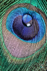 Drop on a peacock quill (Hélène Caillaud) Tags: art artwork macro macrophotography waterdrop wasser water waterdroplets eau helenecaillaud drop dropart drops droplet droplets tropfen dropondrop stopshot waterdropart waterart liquidart goutte gouttes liquid liquiddrop fluide fluid wassertropfen