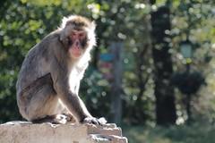 Japanse makaak (Gerrit Veldman) Tags: sneeuwaap macacafuscata aap monkey japanesemacaque snowmonkey dierenparkamersfoort dierentuin zoo olympus epl7 nederland netherlands