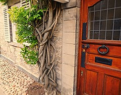 Weaving Wisteria! (springblossom3) Tags: wisteria plant climber nature woodstock cotswolds tourism