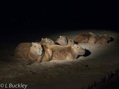 185_20160820_Tambopata_em10_312 (Linenlynn) Tags: peru tambopata capybara jungle night rainforest