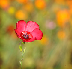 rve lumineux d'un t pass... (.Sophie C.) Tags: fleur flower flore lin linrouge jardin garden dansmonjardin leshautsdefrance