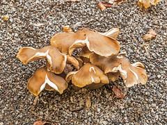 Fungi (niloc's pic's) Tags: fungi toadstool mushroom wakehurstplace nationaltrust kewgardens ardingly sussex panasonic lumix