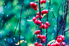 Snowing (Steve-h) Tags: winter snow nature weather crabapples fruit tree red green drops snowing colours colour snowflakes branches twigs black white dublin ireland europe europa november 2016 bokeh depthoffield dof steveh