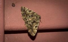 Aeolochroma metarhodata (dustaway) Tags: arthropoda insecta lepidoptera geometridae geometrinae aeolochromametarhodata teatreeemeraldmoth australianmoths australianinsects lismore northernrivers nsw nature australia