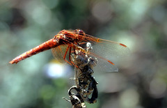 On a tangled plinth (TJ Gehling) Tags: insect odonata anisoptera dragonfly libellulidae meadowhawk cardinalmeadowhawk sympetrum sympetrumillotum canyontrailpark elcerrito