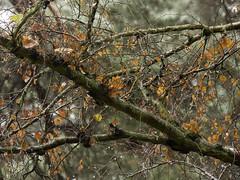 Autumn Colours (Triker-Sticks) Tags: trees nature leaves autumn thelodge rspb reserve england sandy rain water drops