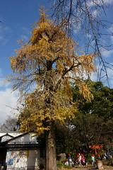 DSC02848 (MrSUIZOU) Tags: 京都 紅葉 北野天満宮 平野神社 十月桜