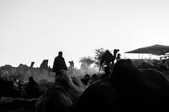 Humps & Morning stories | Pushkar camel fair,Rajasthan. (vjisin) Tags: pushkar rajasthan india iamnikon nikond3200 asia camel streetphotography street indianstreetphotography incredibleindia indianheritage travelphotography pushkarcamelfair herder inexplore outdoor animal travel nikon nikonofficial surreal sunlight dawn silhouette ngc sky