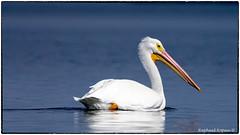 American White Pelican (RKop) Tags: a77mk2 70400gssmsony fortdesotostatepark florida raphaelkopanphotography sony