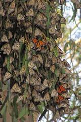 ♚ Papilionoid Royalty ♛ (Viejito) Tags: monarch butterfly butterflies danausplexippus mariposareina farfalla monarca borboleta wanderer migration mariposa papillon vlinder pismobeach california usa unitedstates amerika amérique américa pacificocean america geo:lat=35129564 geo:lon=120632659 geotagged monarque animalplanet eucalyptus symbiosis eucalyptusglobulus bluegum southernbluegum tasmania timor indonesia australia vandiemensland canonsx610hs canonpowershotsx610hs canon sx610 hs powershot bokeh