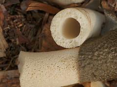 Spongy mystery (cotinis) Tags: fungus phallaceae phallusravenelii stinkhorn easternstinkhorn northcarolina piedmont sigma150mmexdgf28macro