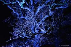 DSC04097 (Twareg) Tags: 2016 aboretum bpw enchanted forest westonbirt bathphotowalk gloucestershire england