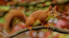 Rode eekhoorn - Red squirrel - Sciurus vulgaris (Foto by Yves) Tags: rodent garden woods fantasticnature beyondbokeh