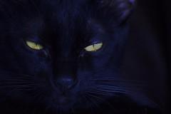 Black cat (mara.arantes) Tags: gatto cat eyes noir preto black flickr portrait animals pets moustache