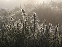 Glimmer (Anninyn) Tags: nature natural landscape mist fog dew gorse spiderwebs cobweb winter
