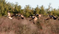 Have a safe flight! (ttl-jw) Tags: tamron150600mm birdwatching tamron nikon nationalwildliferefuge greatmeadows nikond500 water greatmedowsnwr d500 waterfowl lake bird concord pond