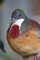 Bleeding-heart pigeon (Tambako the Jaguar) Tags: bleedingheart pigeon bird perched portrait colorful karlsruhe zoo germany nikon d4