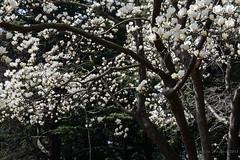 2015. Tokyo. Tokio (Marisa y Angel) Tags: japan tokyo tokio japn yoyogikoen 2015 magnoliadenudata