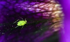 puceron (Voyage Au delà d'un Regard) Tags: macro insecte araignée arachnide puceron salticide