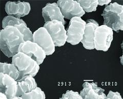 Aspergillus niger var. niger van Tieghem 1 (RVCTA Imágenes) Tags: aspergillus secciónnigri