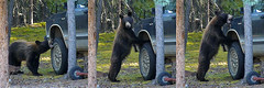Vehicle Inspector At Work, HD Movie Frame-grab (MIKOFOX  Show Your EXIF!) Tags: summer cub july yukon suv blackbear bearcub framegrab fz35 panasonicfz35 mikofox