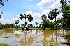 Les rizires (mlanieperez) Tags: landscape asia cambodge cambodia rice palmtree asie rizires nikond5200