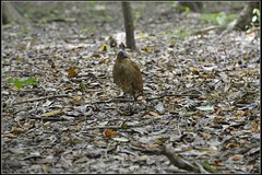 20141002___351_resize_nEO_IMG () Tags: autumn 2 test bird garden botanical tv aperture nikon october flickr g oct aves 100mm f wen taipei wesley 100 f2 mm ho dslr 103 animalia  chen xenon schneider  d800   2014   ardeidae  ciconiiformes  chordata   taipeibotanicalgarden  howen  gorsachiusmelanolophus     gorsachius melanolophus   chenhowen  wesleychen         103