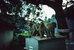 Hill Grove (cranjam) Tags: india film train lomo lca xpro lomography kodak slide unesco worldheritagesite monkeys treno tamilnadu ooty coonoor hillgrove udhagamandalam scimmie elitechrome200 nilgirihills nilgirimountainrailway