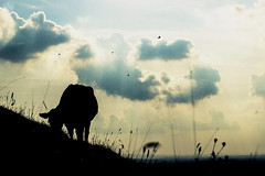 (-ASD-) Tags: blue sunset shadow sky orange sun sunlight grass birds silhouette clouds cow surreal sunny