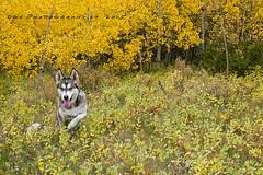 Fall Colours (DGC Photography.ca) Tags: dog canada calgary leaves golden alberta dogpark edworthypark fallcolours huskycross thelittledoglaughed dougcallow
