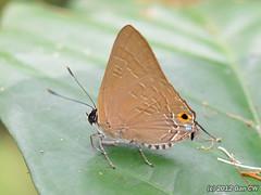 Deudorix  staudingeri (Green Baron Pro) Tags: butterfly singapore lycaenidae newrecord lycaeninae 201202