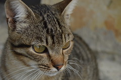 L'amico di strada (mttdlp) Tags: pet cat d3200