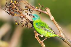 Blue Dacnis (female) (David Schenfeld) Tags: brazil bird brasil alta floresta cristalino bluedacnis dacniscayana dacnis altafloresta cristalinolodge