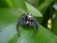 Opisthoncus (tessab101) Tags: spider jumping arachnid australia salticid salticidae opisthoncus mordax grassator