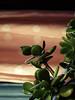 ARBRE DE JADE (didi tokaoui) Tags: plant plante de photo jade didi arbre crassula ovata tokaoui