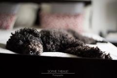 puisement professionnel (Sophie 33) Tags: dog bed lit nano chambre fatigue chiens