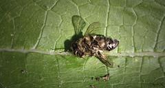 Dead Bee (SpliX!) Tags: vienna wien splix canon eos 700d fotografie photography natur nature bee biene bees bienen insekten insects tiere tier animal animals 100mm macro dead tod green grün