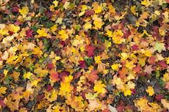 Autumn colors of lake Rur (George Pachantouris) Tags: park autumn lake west colors germany hike eifel national rhine monschau westphalia rur einruhr
