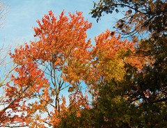 catch some sun on the upper branches (MissyPenny) Tags: autumn trees buckscounty southeasternpa bensalempennsylvania