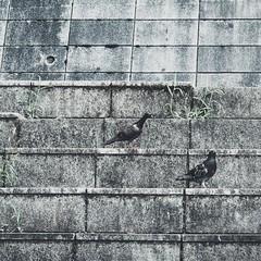 犬山の鳩: Pigeons in Inuyama (Jon-Fū, the写真machine) Tags: pigeon pigeons 鳩 ハト birds bird 鳥 birdie birdy jonfu 2016 olympus omd em5markii em5ii em5mkii em5mk2 em5mark2 オリンパス mirrorless mirrorlesscamera microfourthirds micro43 m43 mft μft マイクロフォーサーズ ミラーレスカメラ ミラーレス一眼カメラ ミラーレス機 ミラーレス一眼 snapseed japan 日本 nihon nippon ジャパン ジパング japón जापान japão xapón asia アジア asian fareast orient oriental aichi 愛知 愛知県 chubu chuubu 中部 中部地方 inuyama 犬山市 犬山 animal animals 動物 生き物 fauna