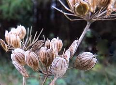 8143 Umbelliferae plant seeds (Andy - Dog gone!) Tags: cymru seeds seedhead ccc hhh uuu ppp cowparsnip hogweed umbelliferae llyncefni ynysmon 20151120