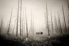 Buffalo in the Fog (Matt Shiffler Photography) Tags: blackandwhite fog composite buffalo explore yellowstone wyoming interest