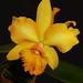 Suzi's orchid