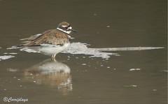 Chorlitejo culirrojo Killdeer (Charadrius vociferus) (Corriplaya) Tags: birds killdeer aves digiscoping charadriusvociferus chorlitejoculirrojo corriplaya