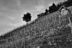 Weinberghuschen am Steilhang (chrissie.007) Tags: germany deutschland vineyard sw sddeutschland weinberge schwarzweis remstal weinberghaus hillsite januar03